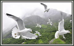 Seagulls in the Naerofjord - 20110617_400 (Marc Geuzinge Photography) Tags: seagulls birds norway photography flying wings nikon europe seagull ngc flight scandinavia norwayinanutshell d90 naerofjord fbdg nikonflickraward marcgeuzingephotography