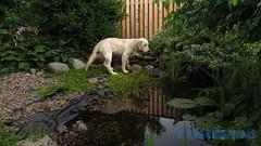 Detta var en mysig liten pool! (J Tube-Films) Tags: scooby söt gullig golden retiever valp valpar busar leker äventyr adventure dog cute puppy
