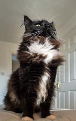 Standing Proud (Percy)  (Olympus OMD EM5II & mZuiko 12mm f2 Prime) (1 of 1) (markdbaynham) Tags: percy cat feline pet big cute whiskers face olympus omd em5 em5ii csc mirorless evil mft m43 micro43 m43rd microfourthirds mz zd zuiko zuikolic mzuiko 12mm f2 prime