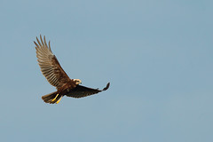 Marsh Harrier (Ady G.) Tags: canon 500f4 somerset 1d4