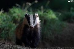 Evening Stroll (birdtracker) Tags: badger woodland forest mammal markmedcalf markmedcalfphotography nature wildlife scotland