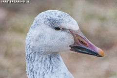 Middle Creek Snow Goose Portrait (freshairphoto) Tags: middle creek wildlife management area snow goose geese migration artspearing nikon d80 300mm telephoto teleconverter tripod