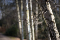 Silver birch (tonybill) Tags: flowers gardens meyeroptikgorlitztrioplan28100 miscellaneous rhs rhswisley sonya7 sunshine surrey trioplan100mm wisley bokeh