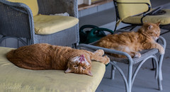 The Boys (Gabriel FW Koch (fb.me/FWKochPhotography on FB)) Tags: cats feline orange ginger porch outdoor outside orangecats mainecooncat teeth face paws fur cute funny fun boys ears tongue eyes