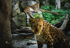 _TL60126 (5816OL) Tags: cats dad animals zoos zoo2016 leopard mtnlion