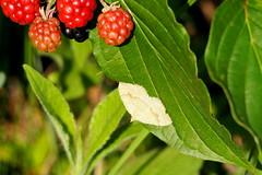 araszol / geometer moth (debreczeniemoke) Tags: nyr summer rt meadow rovar insect insecta lepke butterfly araszol geometermoth araszolk geometridae olympusem5