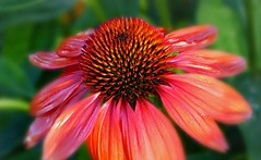 Echinacea Macro. (Through Serena's Lens) Tags: macro coneflower purple echinacea closeup floral nature summer ngc
