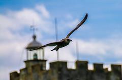 #birds #bird #flight #mouette #vendee #sabledolonne #canon70d (dijaylep) Tags: sabledolonne flight canon70d birds vendee mouette bird
