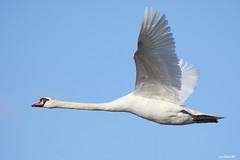 """Mute Swan"" ""Cygnus olor"" (jackhawk9) Tags: muteswan cygnusolor swan birds nature wildlife jackhawk9 southjersey newjersey edwinbforsythenationalwildliferefuge canon ngc"