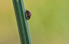 Tout schuss (Hexilene) Tags: coccinelle nikon nikonpassion nature nikond750 insecte proxy plante passion