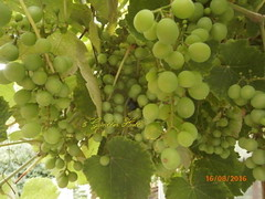 P8160024,the grapes in my garden (guenter.huth) Tags: weintrauben