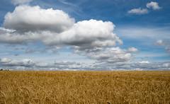 Perfect summer (Sue1585) Tags: cloud field wheat landscape countryside summer sky blue golden crop harvest august farm minimal nature