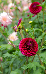 Colours @ Horniman Gardens (Adam Swaine) Tags: dahlias flora flowers garden summer swaine 2016 nature english petals britain london horniman uk canon macro colours gardens se23