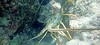 Underwater Lobster (MyFWCmedia) Tags: lobster coralreef underwater snorkle fwc myfwc myfwccom wildlife florida floridafishandwildlife conservation johnpennekamp keylargo flkeys floridakeys floridastateparks johnpennekampcoralreefstatepark park pennekamp lovefl
