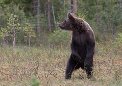 Standing bear (ToriAndrewsPhotography) Tags: brown bear standing tall finland photography andrews tori