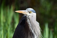 (careth@2012) Tags: heron wildlife