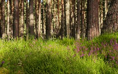 Anagach Woods in August (Mark Illand) Tags: anagach woods cairngorms national park highlands scotland landscape photography pine forest purple flowers light shadow sony alpha holiday travel a580 minolta 50mm