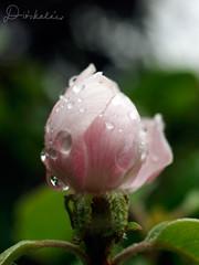 Rzsa / Rose (diskalcs) Tags: rzsa rose cseppek drops tavasz spring dof