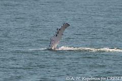 UNK.MN.CRESLI.2016-08-28-03 (ah_kopelman) Tags: unkmncresli2016082803 cresli megapteranovaeangliae montaukny montaukwhalewatch2016 vikingfleet humpbackwhale exif:isospeed=400 geocountry exif:make=nikoncorporation geocity geostate geo:lat=41013156666667 exif:focallength=400mm geolocation exif:model=nikond600 camera:model=nikond600 geo:lon=71897403333333 exif:aperture=ƒ56 camera:make=nikoncorporation