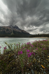 Rain Break (Bun Lee) Tags: canadianrockies flowersplants landscape rockymountain rockymountains alberta bunlee bunleephotography canada flowers icefieldparkway jaspernationalpark mountain mountains nature river water