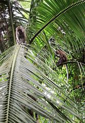 IMG_0411 (trevor.patt) Tags: palauubin singapore macaque monkey