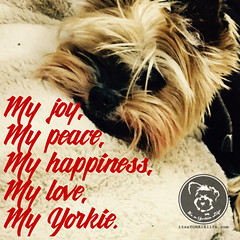 Where would I be without you? (itsayorkielife) Tags: yorkiememe yorkie yorkshireterrier quote