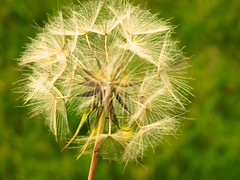 Dandelion (rachel15fuller) Tags: dandelion nature green natural summer flower makeawish macro zoom countryside
