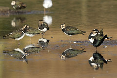 Northern Lapwings (Baractus) Tags: northern lapwings lapwing christopher cadbury reserve upton warren worcestershire uk wildlife trust john oates