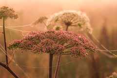 Connected.... (lique1304) Tags: flower angelica sunrise nature field outdoor serene fog haze connected spiderweb naturalperfection
