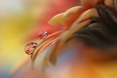 I will support you (Marilena Fattore) Tags: macro artistic canon tamron 90mm colors water drops nature closeup petals floralart reflection pastel orange garden softness yellow