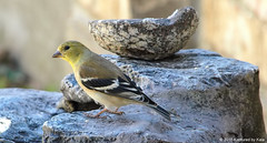 Goldfinch And A Geode (Kaptured by Kala) Tags: carduelistristis finch garlandtexas americangoldfinch goldfinch malegoldfinch maleamericangoldfinch fountain geode closeup