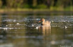 """""""Parmis les plumes"""" Femelle canard souchet/ Northern shoveler (pascaleforest) Tags: duck canard bird oiseau passion nikon wildlife nature"""