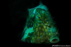 Roundbelly Cowfish-4664.jpg (lgiboin) Tags: fish subject underwater giliair indonesia travel macro