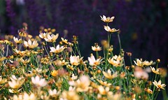 enjoying the warm autumn sun (gwuphd) Tags: meyer primotar 80mm f35 flowers bokeh light nature