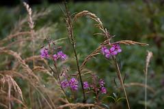 ckuchem-7642 (christine_kuchem) Tags: bienenweide blte epilobiumangustifolium garten naturgarten schmalblttrigesweidenrschen weidenrschen wildgarten wildpflanze naturnah rosa