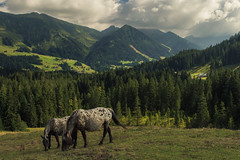 A Mountain View with Horses (Netsrak) Tags: austria sterreich alpen alps riezlern kleinwalertal horse horses pferd pferde meadow wiese tree trees baum bume berge berg mountain mountains forst wald forest woods nature natur green grn outdoor vorarlberg