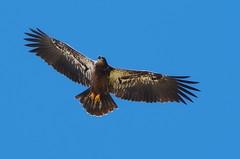 Big baby - Juvenile bald eagle - Staten Island, New York (superpugger) Tags: wildlife baldeagles statenisland statenislandbaldeagles bald eagles newyorkcitywildlife lawrencepugliares lpugliares
