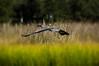 Topsail Island - Sept 2016 (37) (tommaync) Tags: topsail island nc north carolina nikon d40 september 2016 surf city bird blue heron animal wildlife topsailisland northcarolina surfcity blueheron