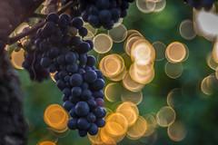 already autumn (ChrisTalentfrei) Tags: autumn herbst vineyards vine vinum wein trauben weintrauben weinreben weinberge sony a7ii ilce7m2 bubble bokeh bokehlicious trioplan bubbles sunset sun nature rheinhessen