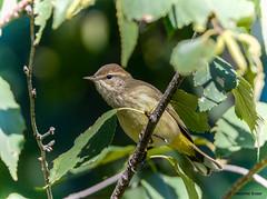 Palm Warbler (Summerside90) Tags: birds birdwatcher warblers palmwarbler september fallmigration backyard garden nature wildlife ontario canada