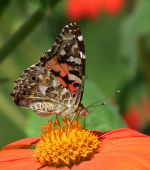 American Painted Lady (vtpeacenik) Tags: butterfly vermont august americanlady