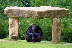 Chimpanz sous son abri (m4mboo) Tags: zoo animaux attilly highqualityanimals