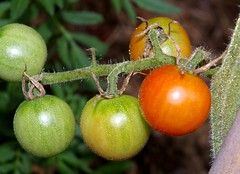 "Peacevine Heirloom Tomato • <a style=""font-size:0.8em;"" href=""http://www.flickr.com/photos/54958436@N05/7779373272/"" target=""_blank"">View on Flickr</a>"