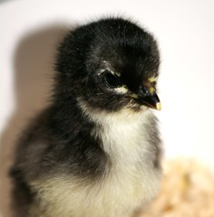 "Australorp Chick • <a style=""font-size:0.8em;"" href=""https://www.flickr.com/photos/54958436@N05/7780849454/"" target=""_blank"">View on Flickr</a>"
