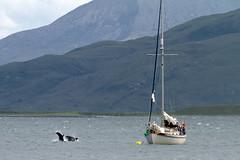 Tursiops truncatus (Bottlenose Dolphins) in Tianavaig Bay (Mark at Magdalen) Tags: skye animals mammal scotland places coastal habitat cetaceans