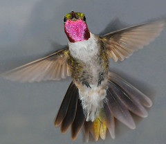 Broad-tailed Hummingbird (NatureNM) Tags: newmexico broadtailedhummingbird selasphorusplatycercus oterocounty