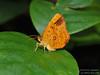 Tetragonus lycaenoides (Green Baron Pro) Tags: sicc 201208 em5 simeforest moth callidulidae callidulinae singapore