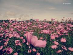 Que chula es puebla ! (a'honni) Tags: naturaleza flores de andrea pueblo cielo pico campo fotografia puebla rosas chula alvarado volcan orizaba arano canin honni ahonni