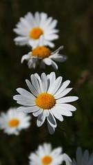 Daisy (Hayden Watkins) Tags: park sony 350 daisy milton keynes alpha stratford fenny woughton a350