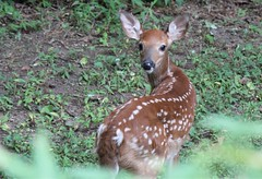 WhiteTailFawnIMG_2069-001 (novasdtr) Tags: urban nature gardens woods babies wildlife deer pa fawns magicmoments grazing whitetail forage autofocus woodlandcreatures thegalaxy grazers gardenvisitors